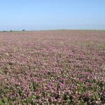 Aber Ruby seed crop IGER