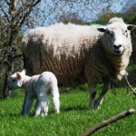 Ewe and Lamb 3 MP
