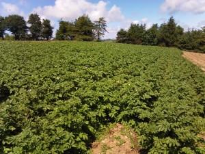 Seed potatoes on Penbryn Farm, Tregaron